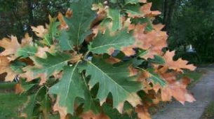 Leaf Scorch Weather Related Tree Diseases