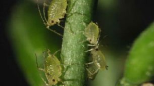 aphids tree insects