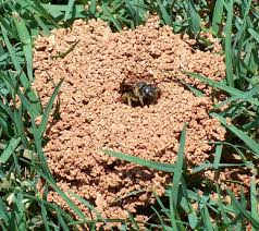 Digger Bees And Crane Flies Pest Control Tips From