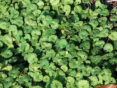 ground ivy weed identification
