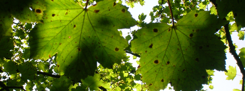 tar spot on sycamore tree