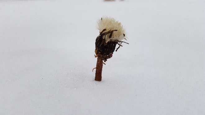 weed in snow