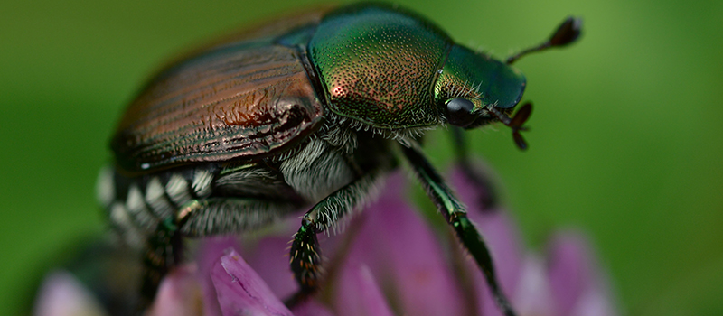 Anese Beetles Archives Spring Green