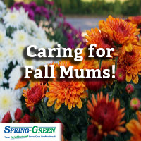 late season bloomers how to take care of fall mums