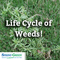 life cycle of weeds