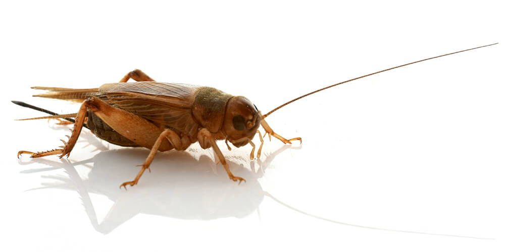 pest-library-zoom-crickets